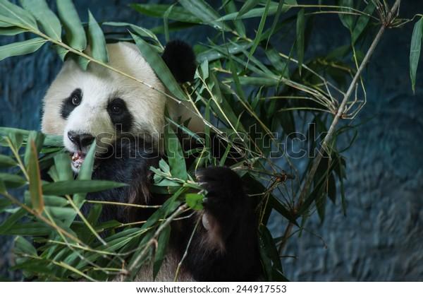 Hungry giant panda eating bamboo
