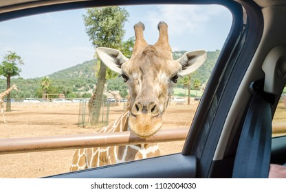 Hungry giraffe waiting for food through a car window at the zoo