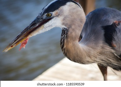 Hungry Great blue heron eating a piece fish on a dock at dinner time.