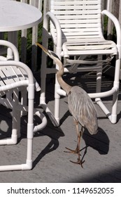 A hungry Great Blue Heron scavenges for human food on a table and chairs on a beach deck in Indian Rocks, Florida by the Gulf of Mexico