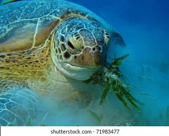 Hungry Green Turtle - Chelonia mydas