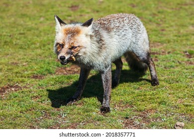 Hungry grey fox is eating cheese
