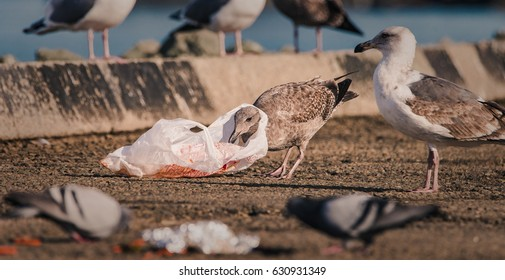 A hungry gull finds itself with a plastic bag around its neck when scavenging for food in human litter.