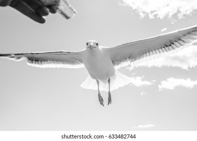 A hungry gull flies in to grab a chip from a person's hand