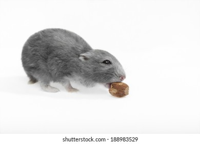 Hungry hamster sneaks nut. In addition, clipping path included