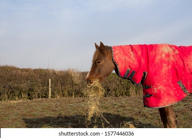 Hungry horse, a horse in a rug eats hay in the winter to keep warm.