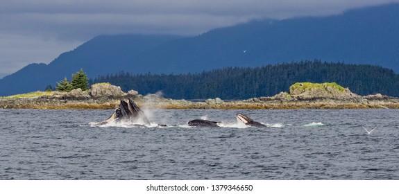 Hungry Humpback Whales Bubble Net Feeding in South East Alaska outside Juneau