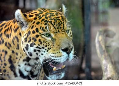 Hungry jaguar