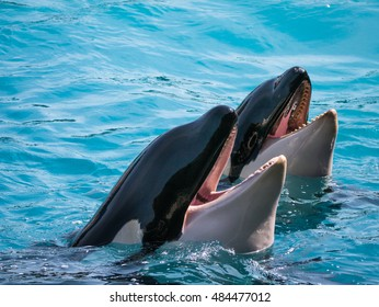Hungry Killer Whales - New Zealand, Kaikoura