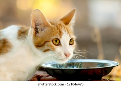 Hungry Kitten In front of a saucer full of milk.