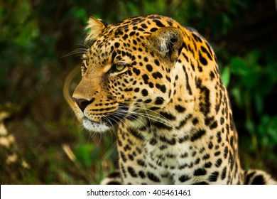Hungry Leopard