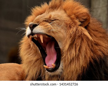 Hungry Lion is Roaring and showing tongue and teeth