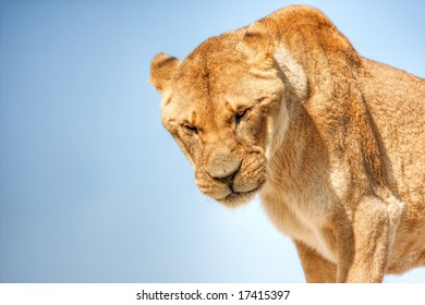 A hungry lioness peers down at her prey, against a blue gradient background.