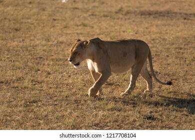 A hungry lioness walking, hunting, Masai mara, Safari, Kenya, Africa