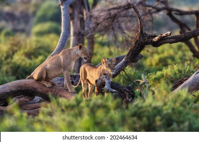 Hungry Lionesses in dry trees watching for something to hunt in Samburu National Reserve, Kenya