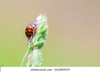 Hungry little red ladybug with black dots on a hunt for louses in the wild garden nature