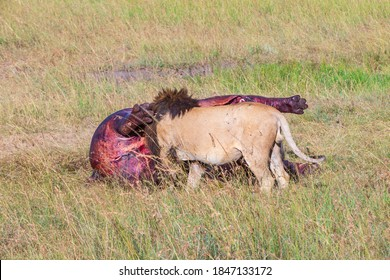 Hungry Male lion eating on his prey