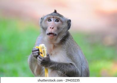 hungry monkey eating a banana