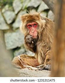 Hungry monkey eats bark of the tree