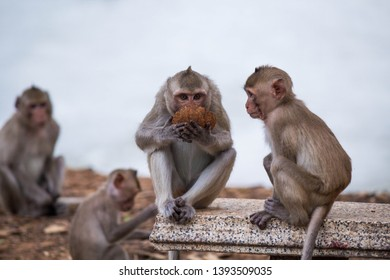 a hungry monkey looking at friend eating coconut shell at natural park in thailand,Crab-eating Macaque,Monkeys in Southeast Asia,the long-tailed macaque
