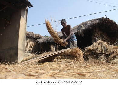 A hungry, poor farmer threshing paddy on the road against a clay house. A old farmer working on a sunny day. Low angle , ground level shot captured with a wide angle lens.