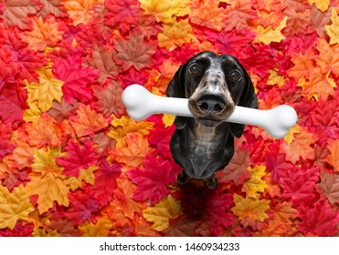 hungry sausage dachshund dog with a big white bone waiting for owner to go for a walk in autumn fall with leaves