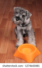 Hungry schnauzer puppy dog with empty bowl is waiting for feeding.