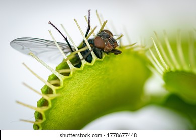 a hungry venus fly trap feeding on a common green bottle fly