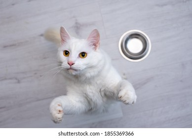 hungry white cat sitting on the floor waiting for food