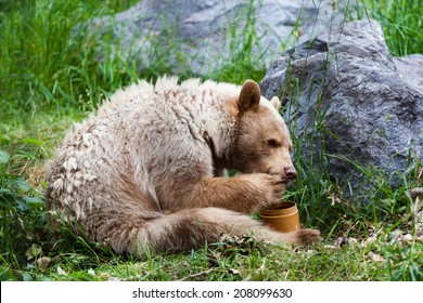 A hungry white Kermode or Spirit Bear licks honey from its paw off a honey jar.