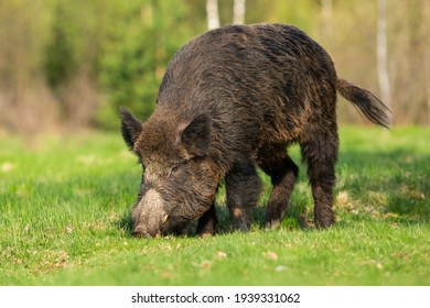 Hungry wild boar grazing on a green grass in spring at sunrise