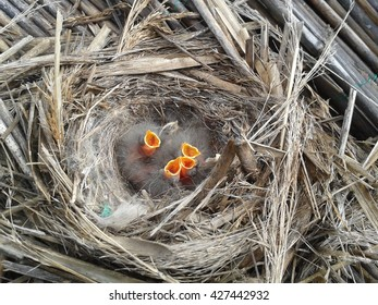 hungry young birds in the nest