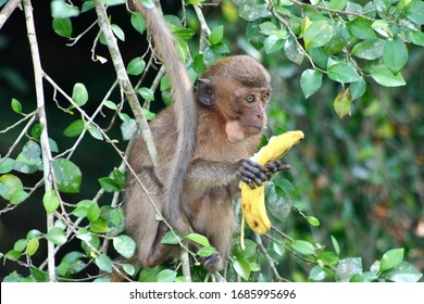 A hungry young monkey eating a banana for breakfast and enjoying it