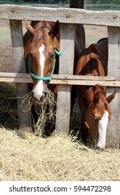 Hungry young saddle horse eating hay on the farm