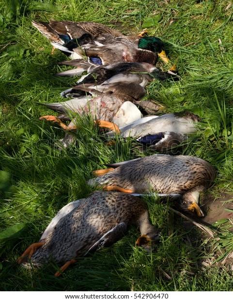 Hunt for ducks