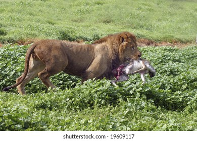 The hunt - a lion hunting in his habitat