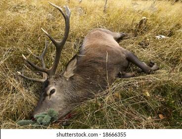 hunted buck