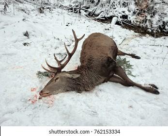 Hunted buck, Caught deer as a hunting trophy, (Cervus elaphus)