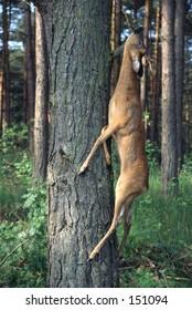 Hunted Roe Deer
