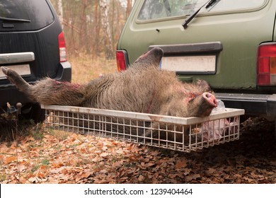 A hunted wild boar's light in the rear carrier of a car