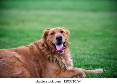 Hunter the golden retriever
