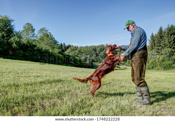 A hunter plays with his young Irish Setter hunting dog on the green meadow in his hunting area on a nice sunny day in early summer.