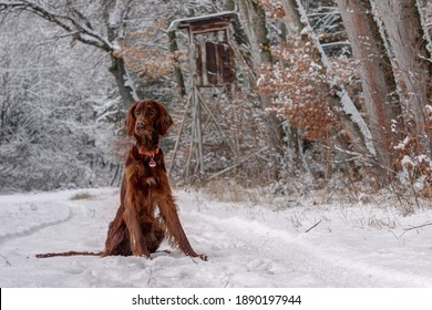 The hunter's beautiful, red Irish Setter hunting dog sits on the edge of the forest in the snow in front of the hunting pulpit on a winter morning, watching the hunting area.