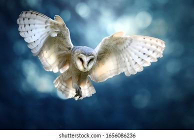 Hunting Barn Owl in flight.  Wildlife scene from wild forest. Flying bird tyto alba.