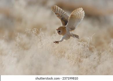 Hunting Barn Owl in morning light. Owl landing in the grass.