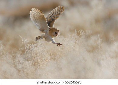 Hunting Barn Owl in nice morning light. Wildlife scene from wild nature. Flying bird above the meadow, United Kingdom.