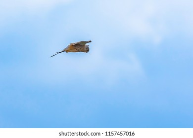 Hunting bird of prey.   Kestrel (Falco tinnunculus) on blue sky background.Wildlife photograph Uk.Falcon hanging in the air looking for prey.Nature details.Space for copy.Animal behaviour.