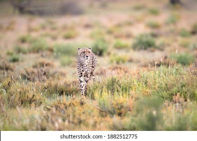 Hunting Cheetah, Acinonyx jubatus  walking directly into camera in arid savanna. Typical Kalahari environment a few weeks after green season. Valley of Nossob river, Kgalagadi transfrontier park