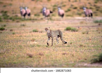 Hunting Cheetah, Acinonyx jubatus  walking directly in arid savanna with herd of oryxes in background. Typical Kalahari environment. On safari in Kgalagadi transfrontier park, Botswana