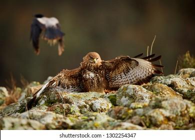 Hunting Common buzzard (Buteo buteo). Action scene from the Rhodope Mountains, Bulgaria. Wildlife animal.
